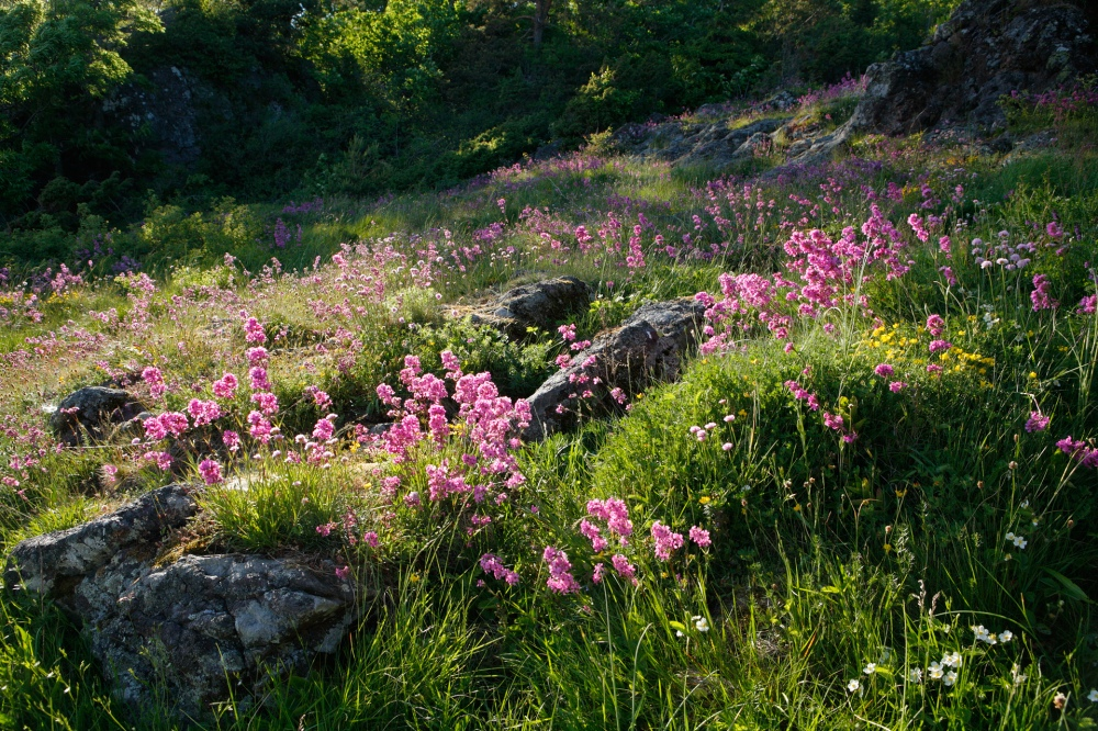 alby_stalsberget_meadow_red_flowers_evening_7816